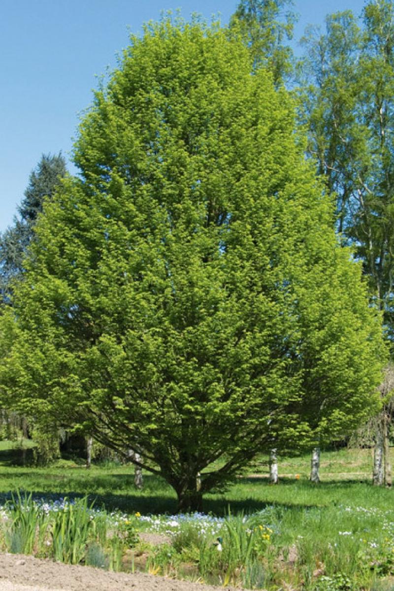 5 raisons de planter le charme ou carpinus betulus au jardin. Black Bedroom Furniture Sets. Home Design Ideas
