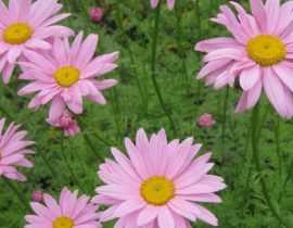Non, le chrysanthème n'est pas une fleur de cimetière !
