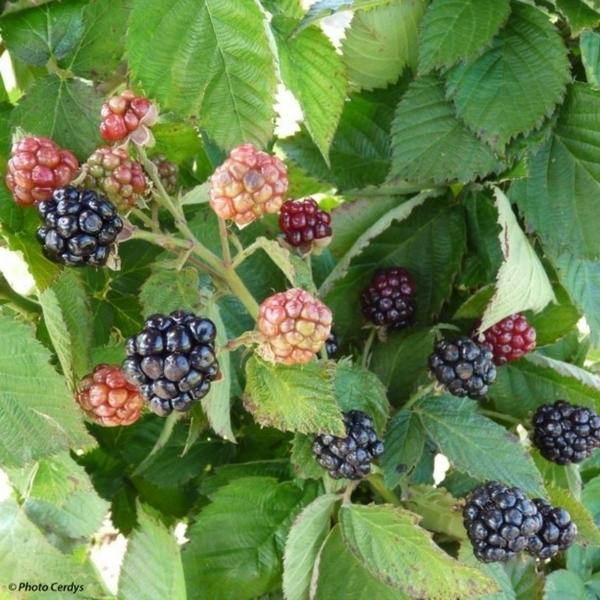 Haie fruiti re plantez la avec des arbres et arbustes originaux - Quel arbre fruitier planter ...