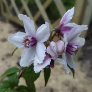 deutzia-calycosa-jardin-de-patou