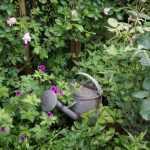 geranium-patricia-et-rose-reine-de-violettes