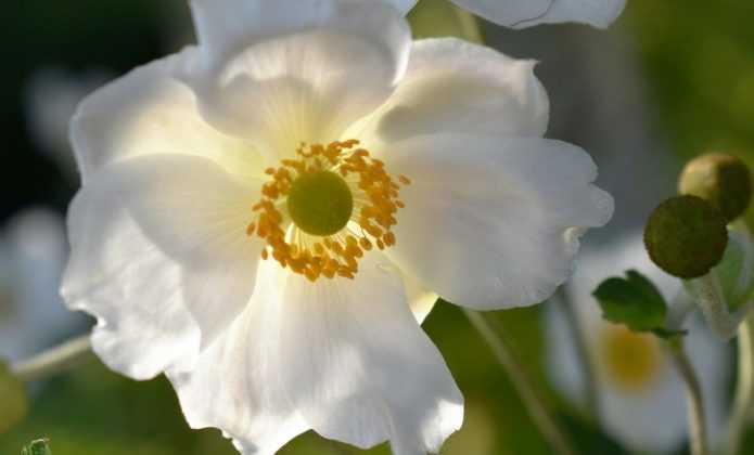 Les Anémones du Japon : plantation et entretien