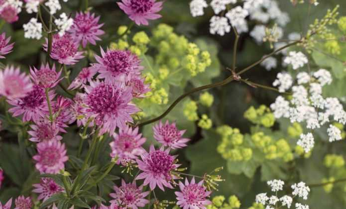 Astrance : planter, soigner et associer au jardin