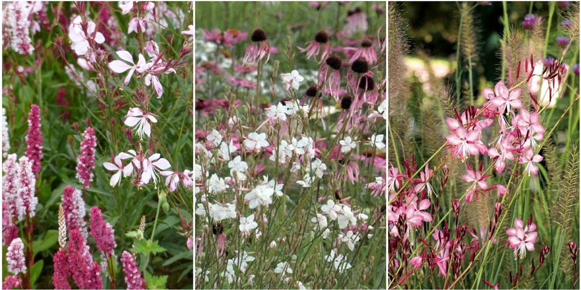 Gaura planter et cultiver blog promesse de fleurs for Jardiniere hauteur 1 metre