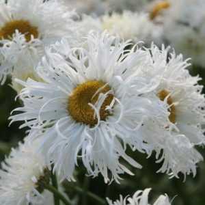 leucanthemum-shapcott-ruffles