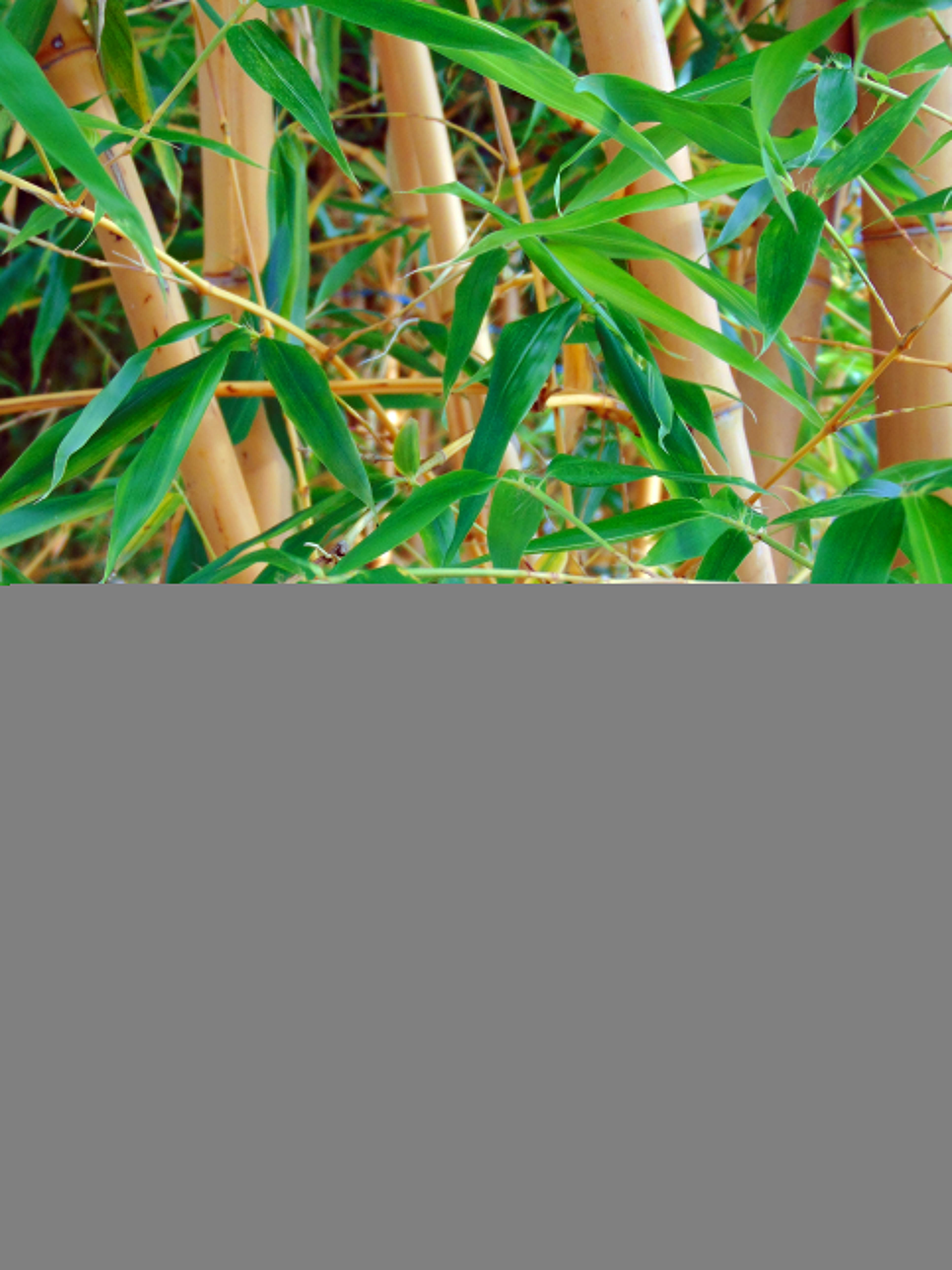 faut il planter du bambou dans son jardin