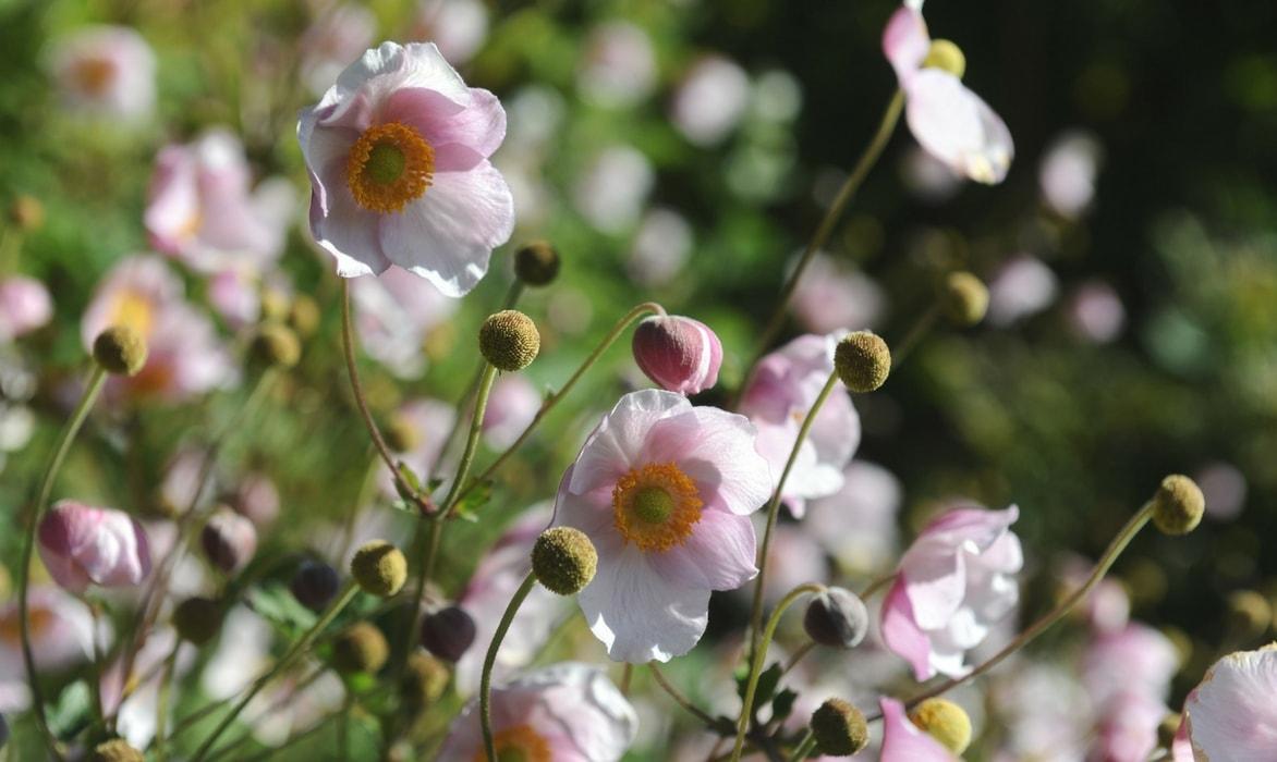 ou planter anemone