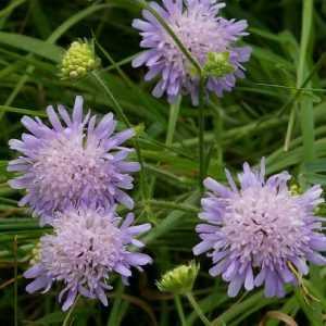 knautia-arvensis