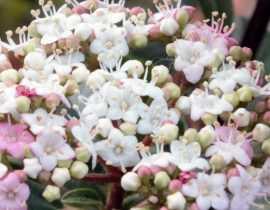 Laurier-tin : un arbuste aux nombreux atouts