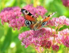 Sedum ou Orpin : comment les planter, les cultiver et les multiplier