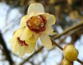 Chimonanthus praecox, un parfum enchanteur en hiver