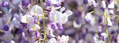 Glycine : comment la planter, la tailler et l'entretenir