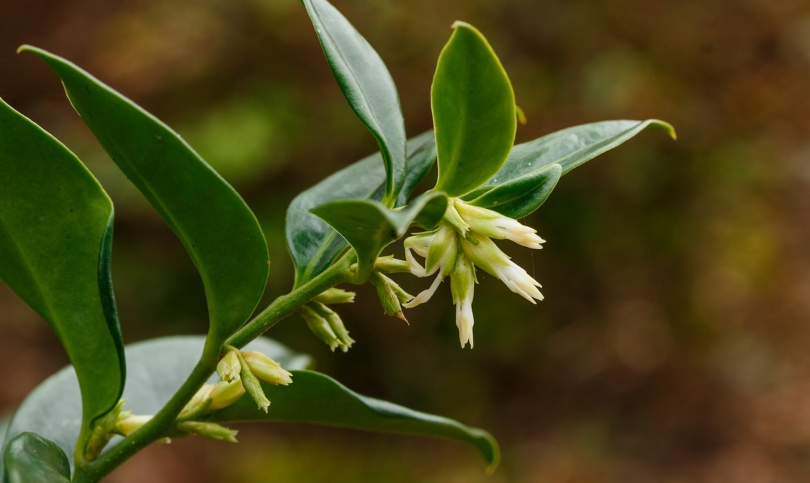 Sarcococca cultiver et tailler cet arbuste floraison hivernale parfum e blog promesse de - Tailler orchidee apres floraison ...