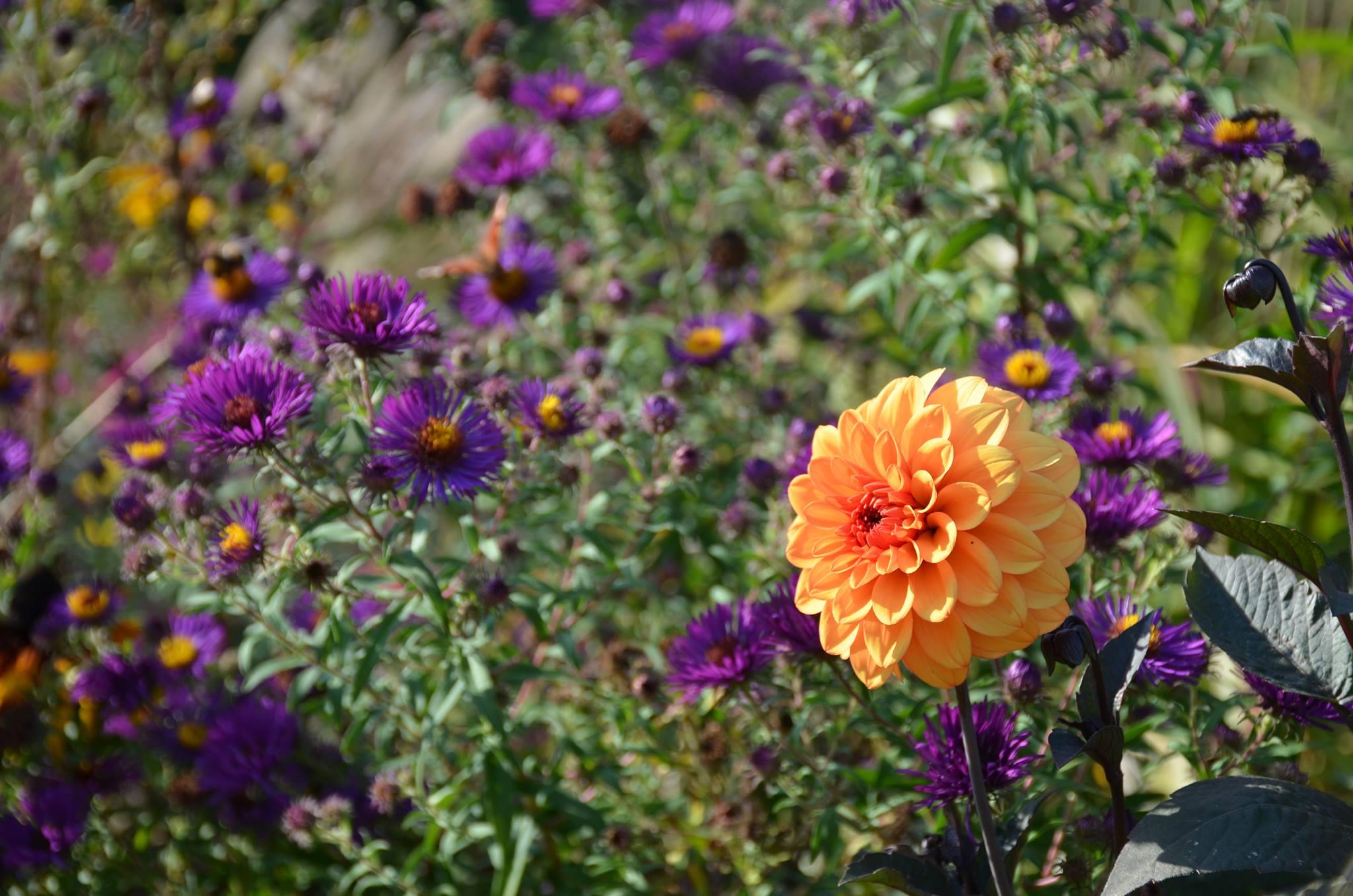 Les dahlias une passion qui illumine m me l 39 hiver blog for Promesse de fleurs