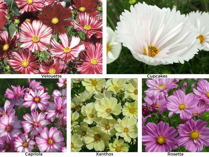Nouvelles graines de fleurs en 2017 promesse de fleurs for Promesse de fleurs