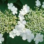 Viburnum : le planter, le tailler et le cultiver