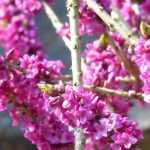 Le Daphné : comment le planter, le cultiver et l'entretenir