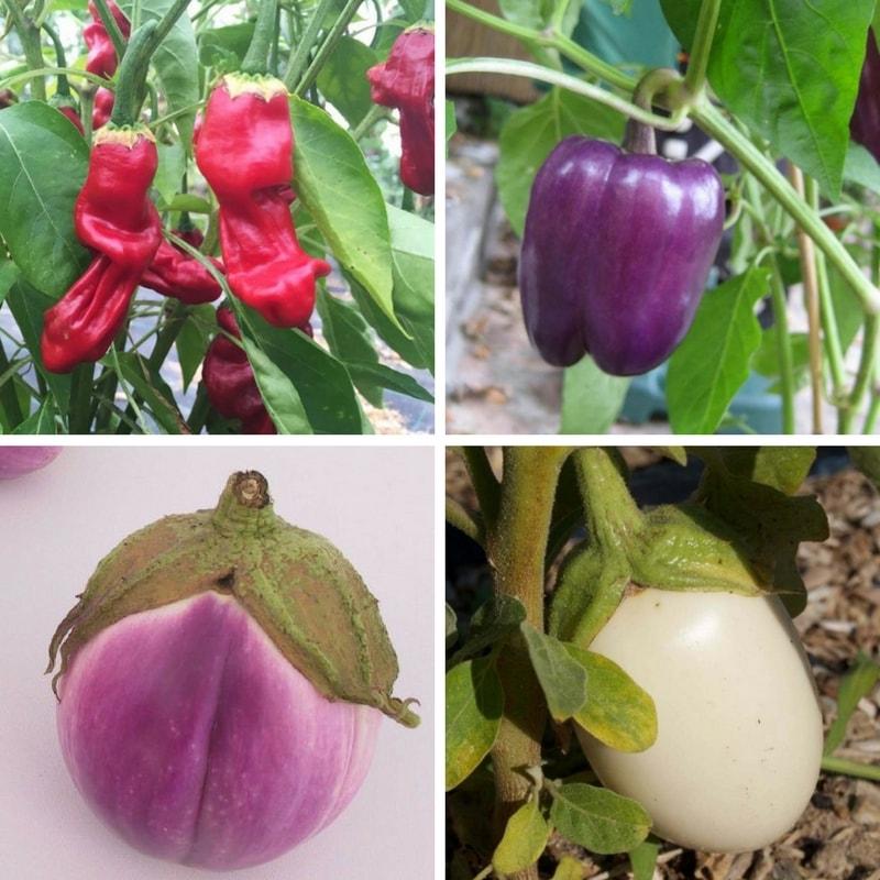 Le semis de l 39 aubergine piment et poivron quand et for Entretien poivron jardin