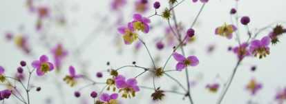 Thalictrum, Pigamon : plantation, culture et association