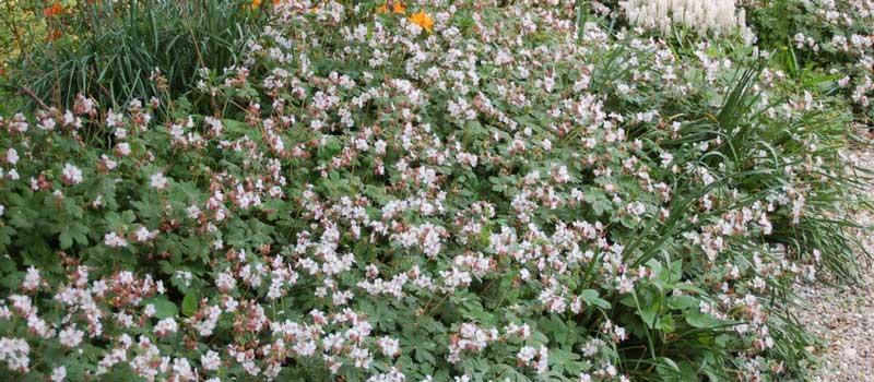 vivaces sol argileux gypsophile paniculata haut cm floraison son lgret destine cette vivace. Black Bedroom Furniture Sets. Home Design Ideas