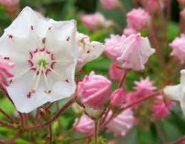 Kalmia latifolia : planter, cultiver et entretenir