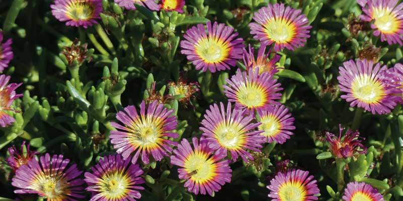5 vivaces couvre sols longue floraison qu 39 il faut avoir blog promesse de fleurs. Black Bedroom Furniture Sets. Home Design Ideas