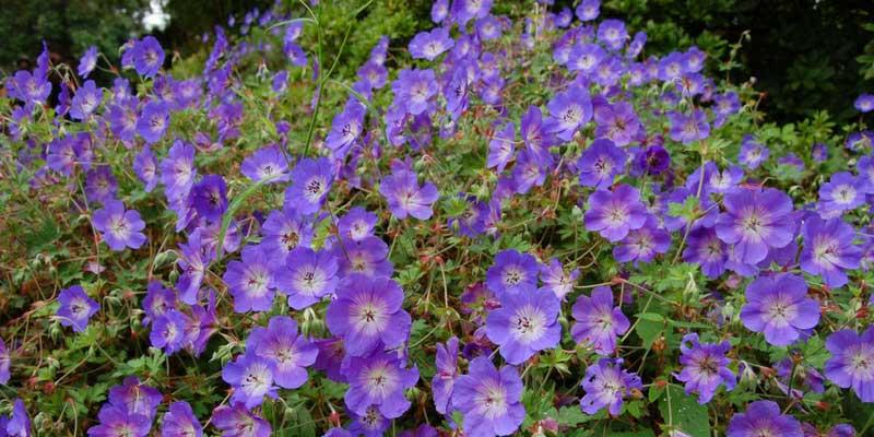 5 vivaces couvre sols longue floraison qu 39 il faut avoir blog promesse de fleurs - Plante qui aime le soleil ...