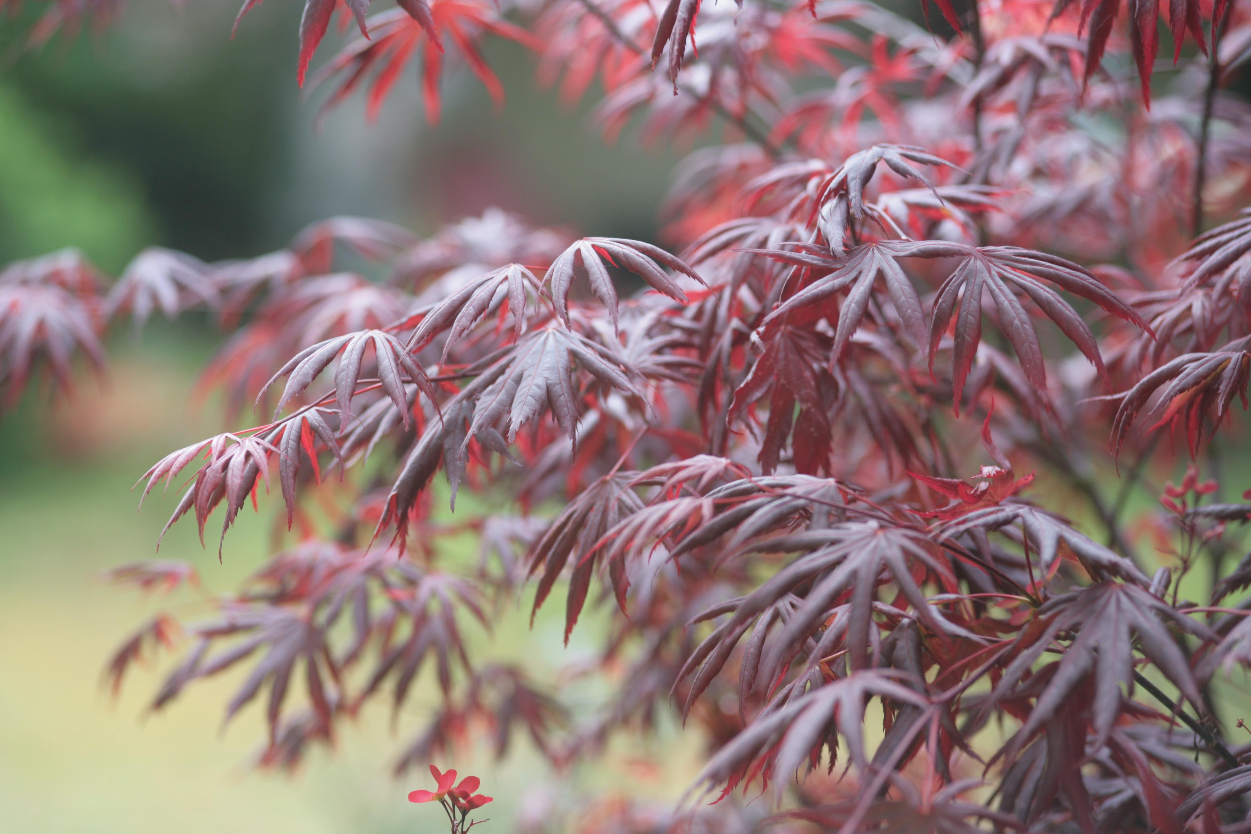 Ou planter un erable du japon - Maladie erable du japon ...