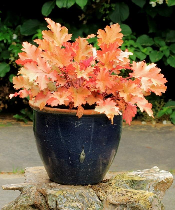 Heuch re heuchera d couvrez comment la planter l - Comment planter un rhododendron ...