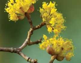 Le cornus mas : un arbuste à floraison précoce à découvrir