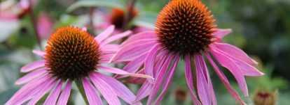 Echinacées : semis, culture et entretien