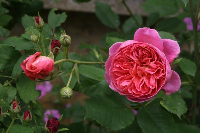 Le rosier anglais Boscobel