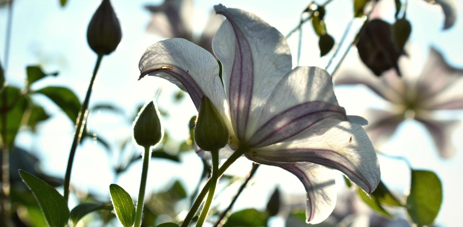 Cl matites quand et comment bien les tailler et les entretenir blog promesse de fleurs - Tailler orchidee apres floraison ...