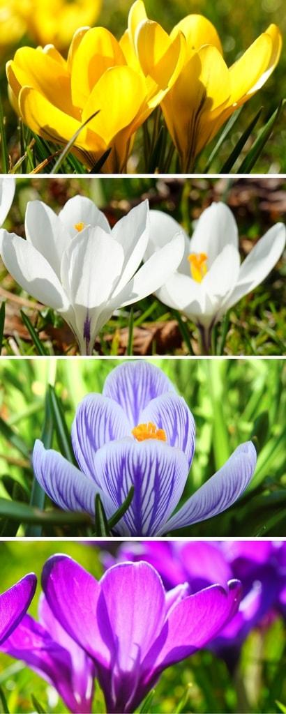 Crocus : planter, cultiver et entretenir - Nos conseils