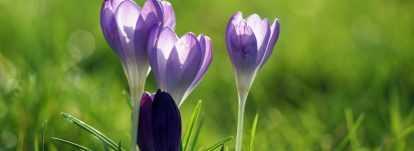 Crocus de printemps : Planter, cultiver et entretenir