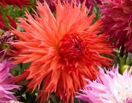 Dahlias : bien les associer au jardin