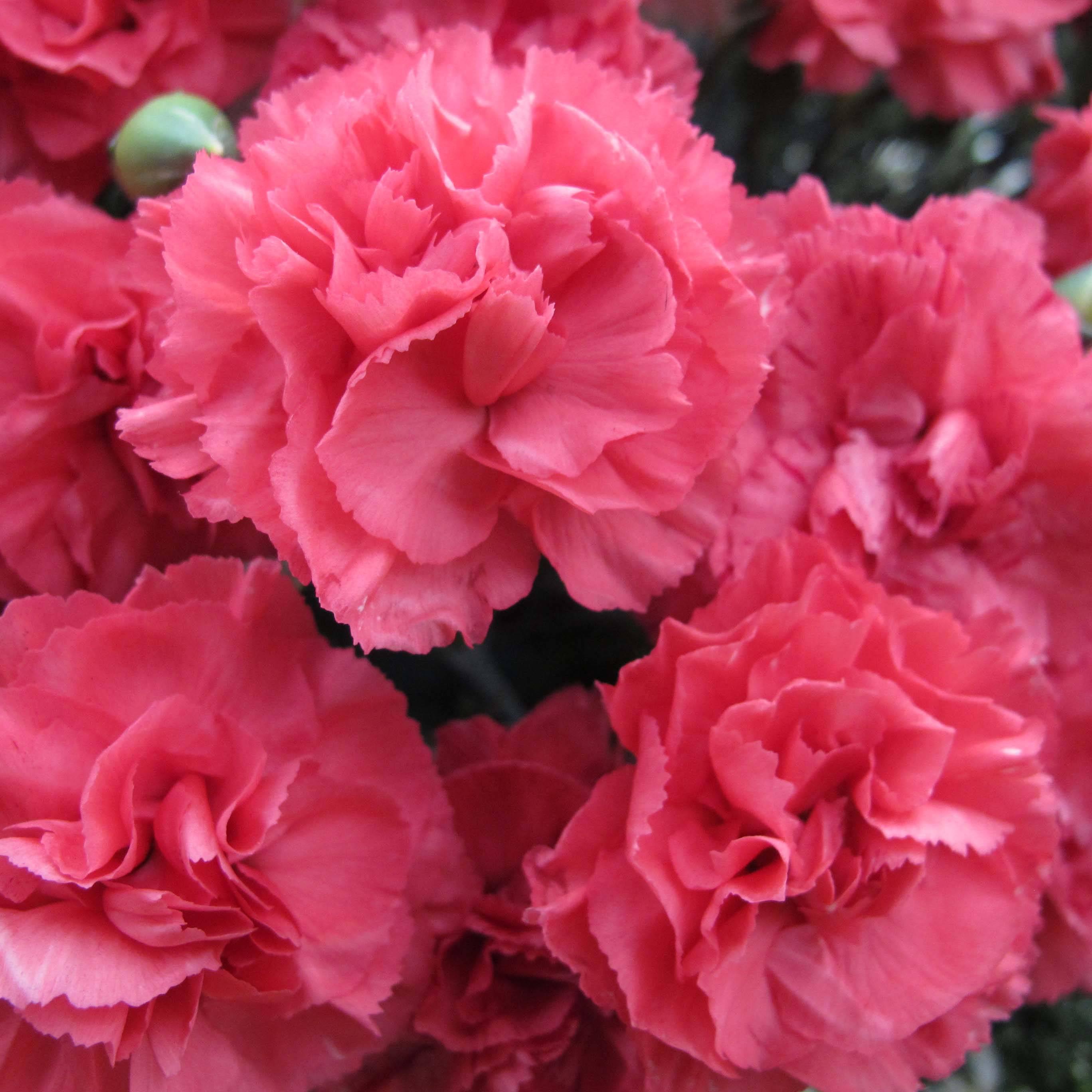 oeillets ou dianthus les vari t s les plus parfum es promesse de fleurs. Black Bedroom Furniture Sets. Home Design Ideas