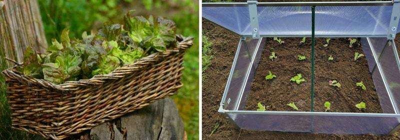 Culture des salades à couper