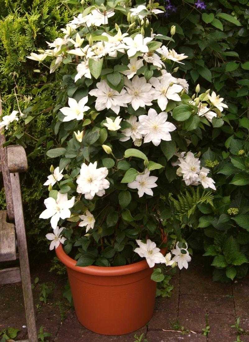 cl matites comment les planter et les cultuver en pot promesse de fleurs. Black Bedroom Furniture Sets. Home Design Ideas