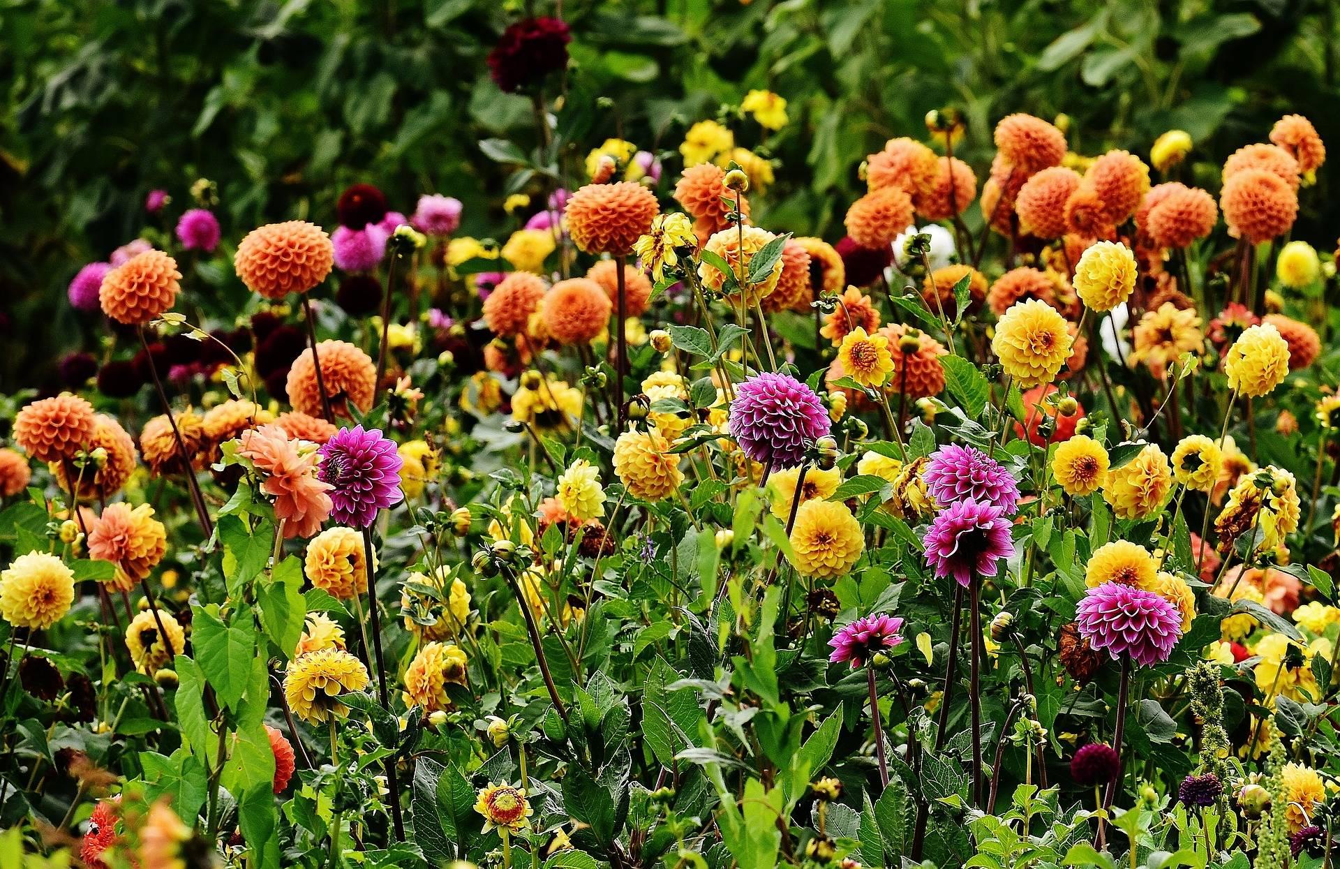 Comment bien choisir vos dahlias tous nos conseils blog for Promesse de fleurs