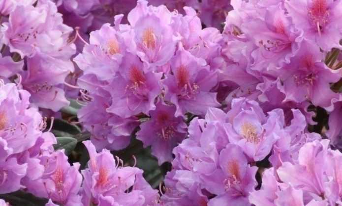 Rhododendron : plantation, culture et entretien