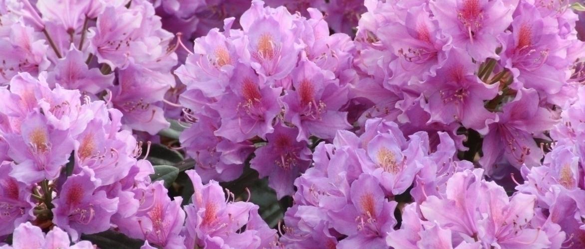 Rhododendron : Plantation, Culture Et Entretien / Blog Promesse De