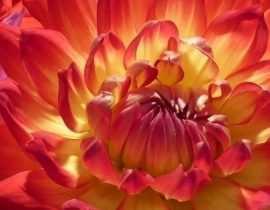Dahlias : les meilleurs pour faire des bouquets