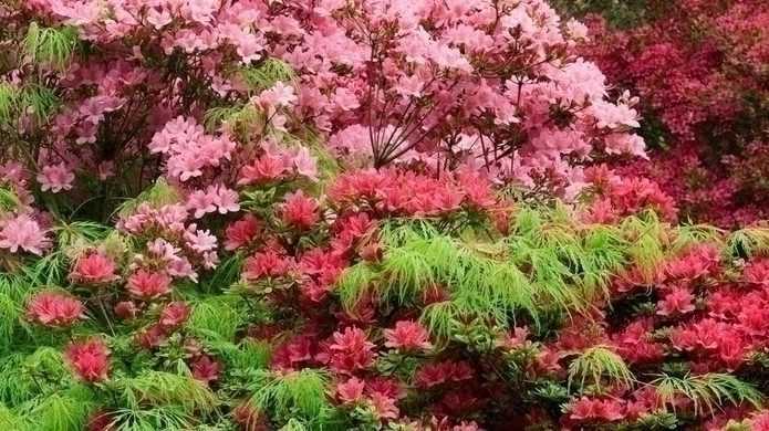 Rhododendron :  9 idées d'associations réussies