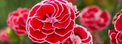 Oeillet : conseils de plantation, entretien, semis
