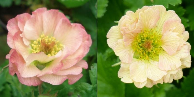 Geum à fleurs claires