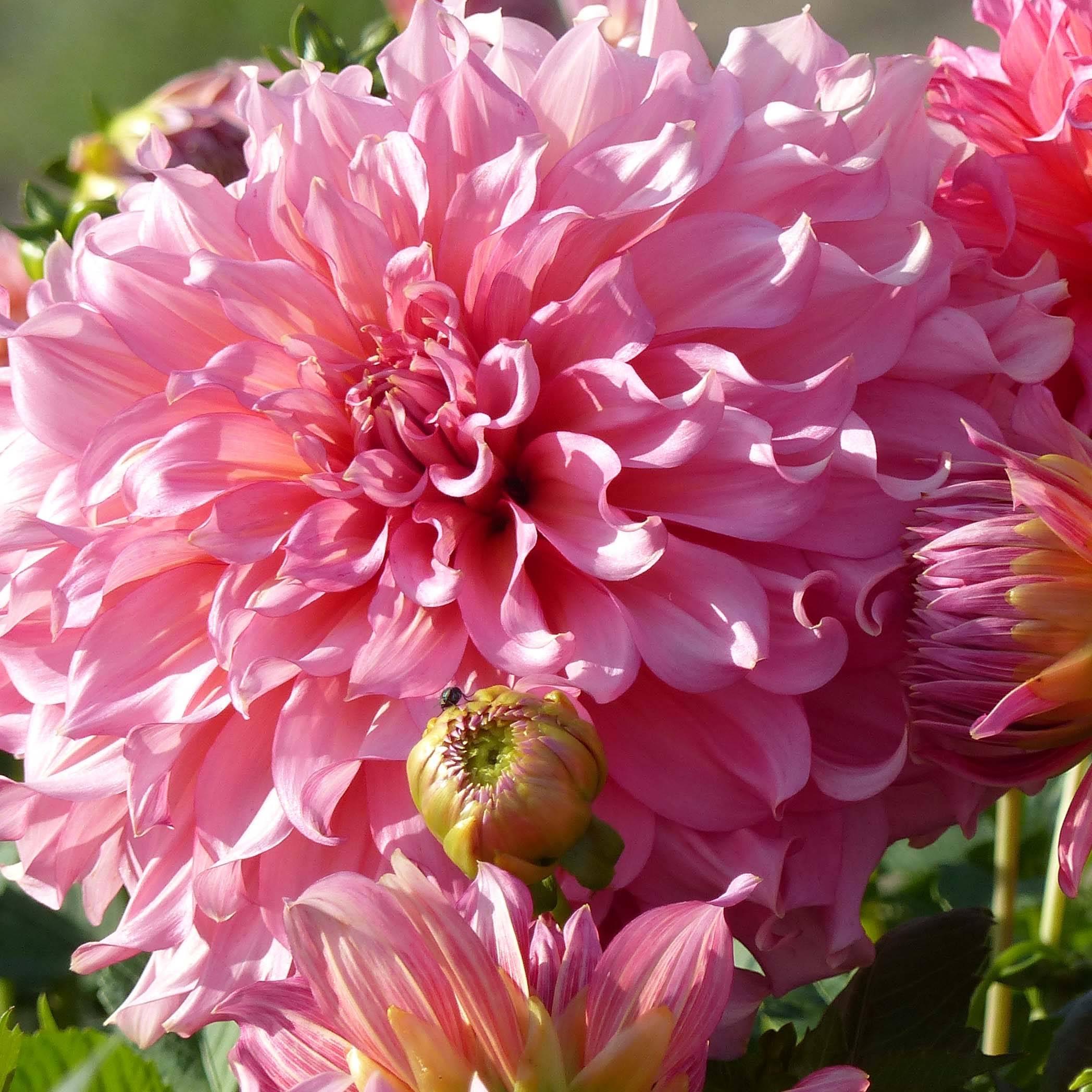 D couvrez les meilleurs dahlias g ants promesse de fleurs for Promesse de fleurs