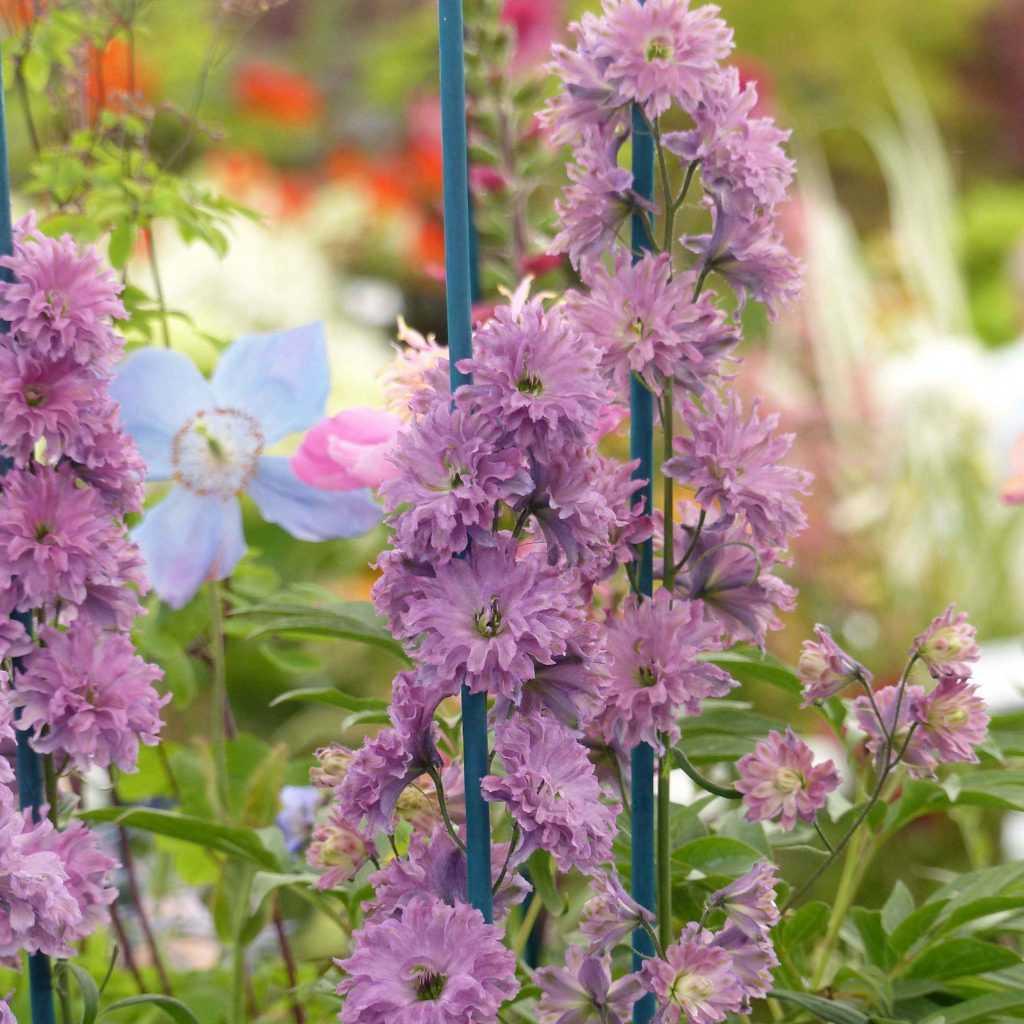 Delphinium ou pied d 39 alouette planter semer entretenir for Quand planter un rhododendron
