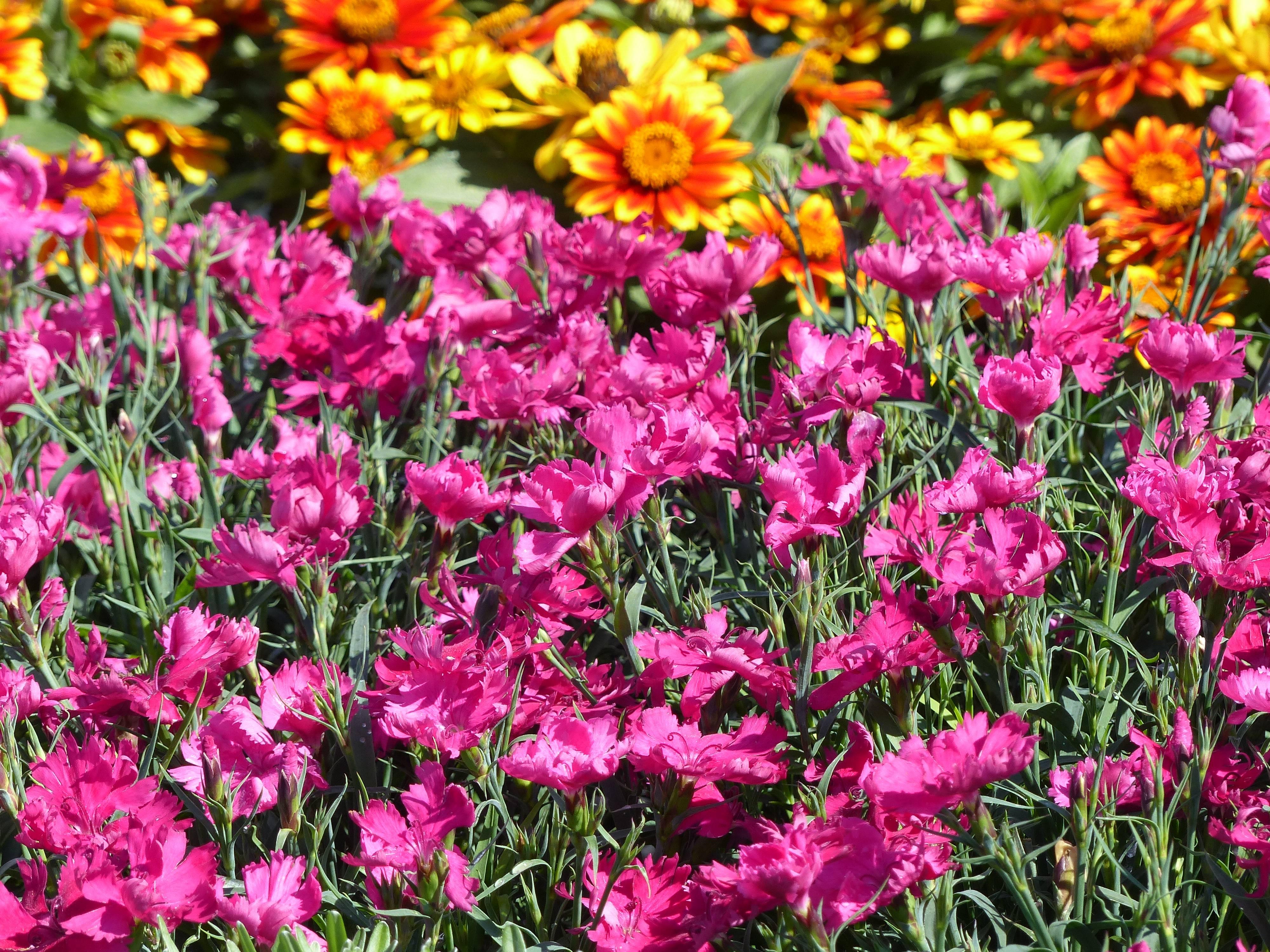 oeillet : conseils de plantation, entretien, semis / blog promesse
