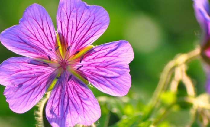 Associer les g raniums vivaces promesse de fleurs - Quand planter les geraniums ...